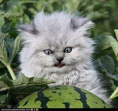 #persian kittens