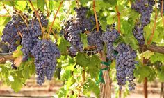 Wow.... Can block UVB rays, aid in radiation treatment and lower blood sugar levels, I need to start eating more grapes!