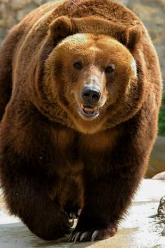 Grizzly or brown bear Nature Animals, Animals And Pets, Cute Animals, Wild Animals, Baby Animals, Beautiful Creatures, Animals Beautiful, Beautiful Beautiful, Love Bear