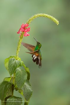 Stripe-tailed Hummingbird JOIN ME AT MY NEW WEBSITE:  atthebirdfeeder.com.  NEW STUFF ADDED DAILY.