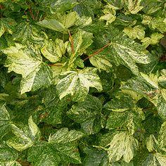 Acer Pseudoplatanus 'Varegatum Leopoldii' - Variegated Maple
