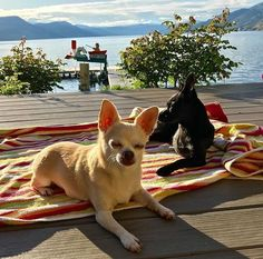 Chihuahua Breeds - Chihuahua information including pictures, training, behavior, and care of Chihuahuas and dog breed mixes. Chihuahua Breeds, Cute Chihuahua, Chihuahua Puppies, Chihuahuas, Dog Breeds, Teacup Chihuahua, Teacup Puppies, Training Your Dog, Training Tips