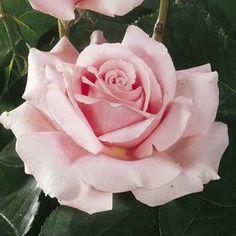 Découvrez le rosier \'Frédéric Mistral\'