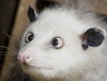 Heidi, the crosseyed Possum