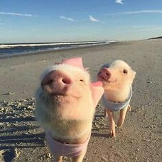 Little Pigs on the beach Cute Baby Pigs, Baby Piglets, Cute Piglets, Super Cute Animals, Cute Little Animals, Cute Funny Animals, Cute Dogs, Baby Animals Pictures, Cute Animal Photos