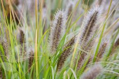 Buy fountain grass Pennisetum alopecuroides 'Hameln': Delivery by Crocus.co.uk          HÄRDIGT