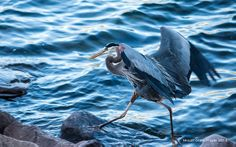 Great Blue Heron trying to keep its feet out of the cold water!  www.devilslakewisconsin.com