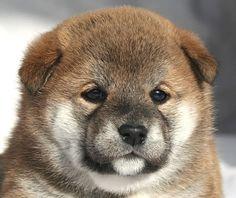 柴犬 ブリーダー 子犬