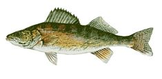 great clip art of freshwater fish blue gill freshwater fishing rh pinterest com Bobber Clip Art Fishing Pole Clip Art