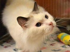 KITTEN is an adoptable Ragdoll Cat in Sacramento, CA.  ...