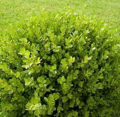Purple diamond loropetalum love this shrub backyard for Low maintenance evergreen shrubs