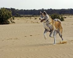 Brindle Akita Inu in the desert http://www.dogwallpapers.net/akita-inu/brindle-akita-inu-in-the-desert-picture.html