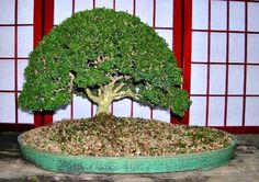 boxwood bonsai, Kingsville boxwood bonsai