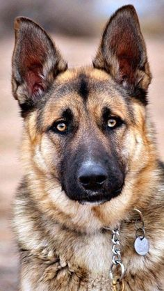 Beautiful!  Majestic!  Photographer Unknown Source:  not sure but maybe German Shepherd Dog Community on FB