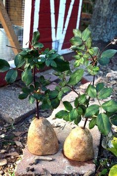 un trou de petit diamètres au centre de la pomme de terre.un pot avec de la terre et plantezbouteilles en plastique sur les tiges de rose et attendez une semaine. N'oubliez pas d'arroser!