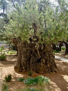 Ancient Olive tree in the Garden of Gethsemane, Israel. Perhaps this is the tree under which Jesus prayed for His Father's will to be done and not His own. No greater love ❤️ than this!  Thank You, Jesus!
