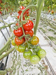 Besuch im Westland: Alles Tomate