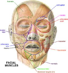 Learn Facial Muscles | Non-Verbal.info |