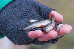 Kuusamon suuri järvikalatutkimus.  Pitkäaikaistyöttömille järkevää tekemistä aktivointitoimenpiteiden sijaan.   Koulutusrahaa alkoi tulla kalastukseen liittyvän uuden työn ympärillä alueelle.   Kalalla ja kalastamalla yli sadan hengen yhteisö tuottaa hyvinvointia ja elinvoimaa. Järvikalatutkijoista useat ovat löytäneet toimeentulonsa tai sen sirpaleita valitsemassaan ammatissa ja työssä. On syntynyt uutta yrittäjyyttä. Kuntaosuuden palautukset ovat alle puolet siitä, mitä muissa kunnissa.