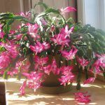 Details about 2 Pink Christmas/ThankGiving Cactus Zygo Schlumbergera Rooted live plant - Christmas Deesserts Big House Plants, Cactus House Plants, Flamingo Flower, Cactus Flower, Flower Bookey, Cactus Cactus, Flower Pots, Growing Herbs, Growing Flowers