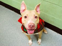 SAFE 01/29/15 (by Ready for Rescue) --- Manhattan Center   CHAMPAGNE - A1025265   FEMALE, TAN / WHITE, AM PIT BULL TER MIX, 2 yrs OWNER SUR - EVALUATE, NO HOLD Reason PERS PROB  Intake condition EXAM REQ Intake Date 01/11/2015   Main thread: https://www.facebook.com/photo.php?fbid=944239972255549