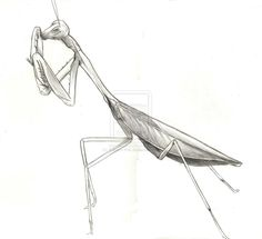 http://th04.deviantart.net/fs70/PRE/i/2010/320/d/f/praying_mantis_by_kakashi_kati-d32zc14.jpg