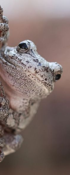Gray tree frog- That big behind the desk bureaucrat, Just and waiting for his retirement. Beautiful Creatures, Animals Beautiful, Cute Animals, Regard Animal, Cute Frogs, Funny Frogs, Frog And Toad, Mundo Animal, Reptiles And Amphibians