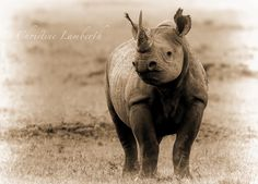 A black rhino that suddenly realised we were there. (Location not revealed due to poaching activity). What a beautiful animal so highly endangered now. Photo by Christine Lamberth Suddenly, Animals Beautiful, Pitbulls, Wildlife, Dogs, Photos, Black, Cutest Animals, Pictures