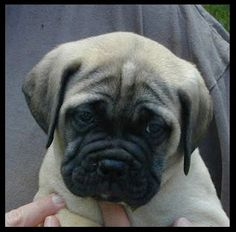 Cannot wait to get our bullmastiff puppy!