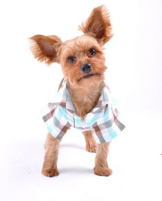 Plaid Button Up Dog Shirt by jessycacb, via Flickr