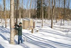 Tree Tapping Begins As Maple Syrup Season Nears