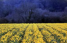 Matt Cardy / Getty Images Spring forward Daffodils bloom at Fentongollan Farm on March 21 near Truro, England. Pictures Of The Week, Light And Shadow, Sun Shadow, Daffodils, Great Britain, Mother Nature, Fields, Beautiful Places, Wildlife