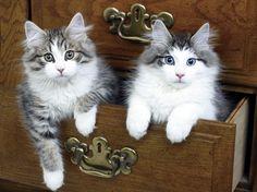 KWILL Norwegian Forest Cat kittens