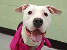 TO BE DESTROYED - 04/12/14 Manhattan Center   My name is DESTINY. My Animal ID # is A0994723. I am a spayed female white and black pit bull mix. The shelter thinks I am about 3 YEARS old.  I came in the shelter as a OWNER SUR on 03/23/2014 from NY 10454, owner surrender reason stated was BITEANIMAL.   https://www.facebook.com/photo.php?fbid=781591081853773&set=a.611290788883804.1073741851.152876678058553&type=3&theater