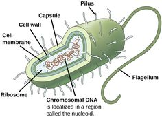 Structure and Composition of Prokaryotes  --- This Webpage discusses the basic shape and parts of a prokaryotic organism while also going in further depth to discuss the difference in cell wall composition between prokaryotes. It also provides a summary of the information in the beginning.