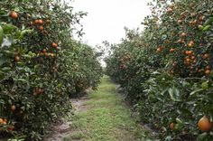 Florida Fruit Shippers groves