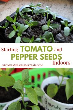 Starting tomato and pepper seeds indoors is so easy, especially because they need similar conditions for growth. Start in winter for spring planting! Organic Gardening Tips, Sustainable Gardening, Indoor Gardening, Vegetable Gardening, Starting Seeds Indoors, Soil Improvement, Pepper Seeds, Tree Care, Herb Seeds