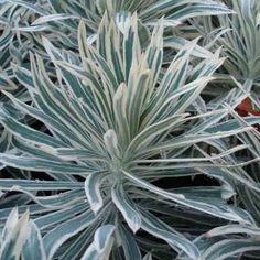 Euphorbia+characias+Tasmanian+Tiger+-+Euphorbe+panachée