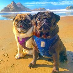 Beach bums. #beachpugs #pugbrothers #pugbros #rcpets #bayareabuzz #lovepugs #pugsrock #smilingpugs #coolpugs #mops #carlins #carlinos #pugstyle #pugstagram #puglove #puglife #pugsoftheday #pugnation #sanfranciscopugs #pugduo #pugmania #blackandfawnpugs #blackpug #instapugs #handsomepugs #pugs #pugsnotdrugs