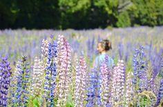 lupini-fiori-nuova-zelanda-isola-del-sud-gucki