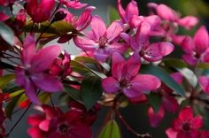 Malus Tom Matthews(TM) - a showy selection of crab apple with bright pink to almost scarlet red flowers during spring. Fleming's Top10 Flowering Trees