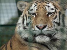15month old tigress