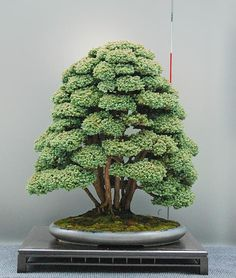 The ancient Japanese art of Bonsai creates a miniature version of a fully grown tree through careful potting, pruning and training. Even if you& not zen enough to labour over your own Bonsai,. Bonsai Plants, Bonsai Garden, Bonsai Trees, Cactus Plants, Ikebana, Espalier, Miniature Plants, Growing Tree, Plantation