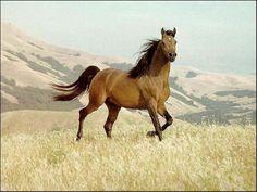 Wild Buckskin Mustang Stallion.