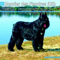 Bouvier Des Flandres Euro 2014 Wall Calendar .  www.megacalendars.com/bouvier-des-flandres-euro-calendar-by-pet-prints.html We 2014, Html, Dog Breeds, Euro, Dogs, Animals, Bouvier Des Flandres, Animales, Animaux
