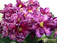 РС-Зорро (С.Репкина) 2014 Полумахровые розовые звезды с красными штрихами, вишневой каймой и белым краем. Слегка стеганные ярко-зеленые листья. Стандарт.