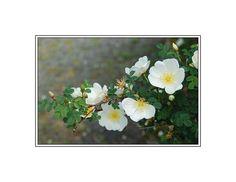 11 Shade Tolerant Roses: Pimpinellifolia