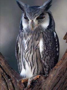 White-faced owl by Cynthia van der Broek