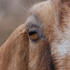 What animal is that? Goat! The horizontal pupils allow wide panoramic vision. Because goats' irises are usually pale, their pupils are much more noticeable than in animals such as cattle, deer, horses and sheep, whose similarly horizontal pupils blend into a dark iris.