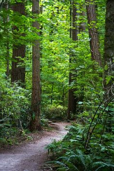 Trees, tall trees, winding paths through trees, no matter, where ever. Like the California Redwoods. (Forest trail, Crescent Beach Park, BC)